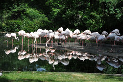 Flamingos by the water Royalty Free Stock Images
