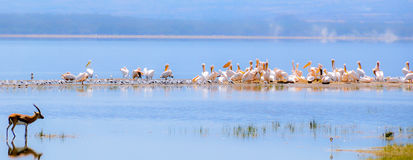 Flamingos in water Royalty Free Stock Photos