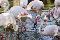 Flamingos in water royalty free stock image
