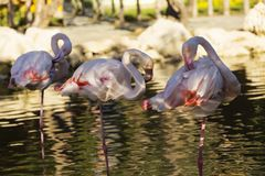 Flamingos in water royalty free stock photo