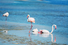 Flamingos in the water Stock Photos