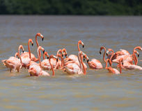 Flamingos in water Stock Photography