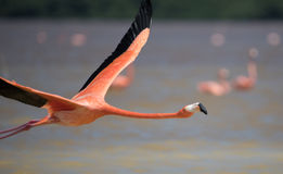 Flamingos in water Royalty Free Stock Photography