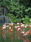 Flamingos & waterfall Stock Photo