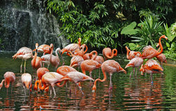 Flamingos & waterfall. Flock of flamingos in front of a waterfall @ the Singapore Bird Park stock photo