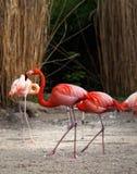 Flamingos werden mit Ring markiert stockfoto