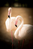 Flamingos  white  nature  beautiful  pink Stock Photography