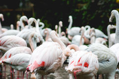 Flamingos. The white and pink gracious birds Stock Photography