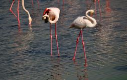 Flamingos with white pink plumage and thin pink legs and wrapped necks. Flamingos with thin pink legs and wrapped necks Stock Image