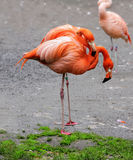 Flamingos Wildlife Exotic Tropical Stock Photography