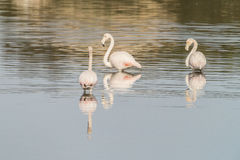 Flamingos. Young flamingos in Olbia`s gulf Royalty Free Stock Photography