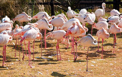 Flamingos in a zoo Stock Photography