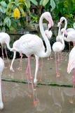 Flamingos in zoo Royalty Free Stock Photo