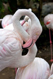Flamingos in zoo royalty free stock images