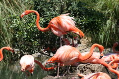 Flamingos am Zoo stockbilder