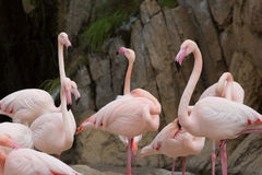 Flamingos in the zoo Royalty Free Stock Images