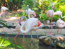 Flamingos in the zoo. Stock Photos