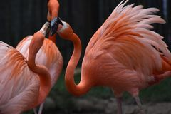 Flamingos an Zoo Tulsas Oklahoma stockfoto
