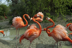 Flamingos at the zoo in Vienna Stock Images