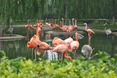 Flamingos. Zoo flamingos in the water inside the group Royalty Free Stock Photo