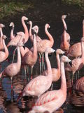 Flamingos02 Stock Images