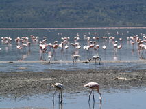 Flamingos1 Foto de Stock Royalty Free