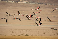 flamingosflyg Arkivfoton