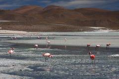 flamingoshedionda laguna Arkivbilder