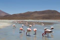 flamingoshedionda laguna Arkivbild