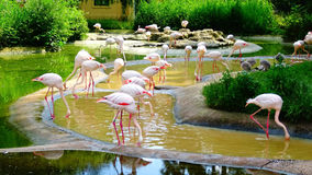 Flamingositzung am Wasser Lizenzfreies Stockbild