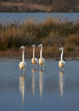 Flamingoslag Royaltyfri Fotografi