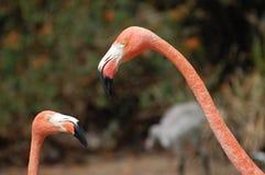 flamingospink Arkivfoto