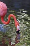 flamingospink Royaltyfri Bild