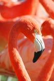 Flamingostående Royaltyfri Fotografi