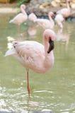 Flamingostand auf einem Bein Lizenzfreie Stockfotografie
