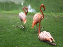 Flamingostillstehen Lizenzfreies Stockbild