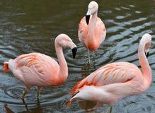 Flamingotrio Fotografering för Bildbyråer