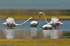 Flamingovögel Lizenzfreie Stockfotos