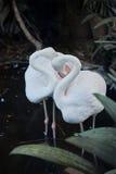 Flamingovogel Lizenzfreie Stockfotografie