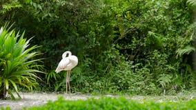 Flamingovogel, der nahe den Büschen steht stock footage