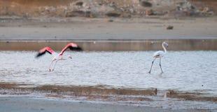 Flamingovogel die en op het meer vliegen lopen Royalty-vrije Stock Foto's