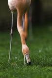 Flamingovogel die gezicht verminderen aan de grond om gras te eten Royalty-vrije Stock Fotografie