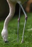 Flamingovogel die gezicht verminderen aan de grond om gras te eten Royalty-vrije Stock Foto's