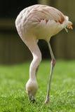 Flamingovogel die gras eten Stock Afbeelding