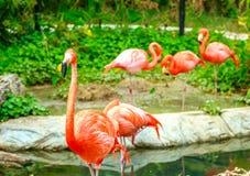 Flamingovogel im Zoo Stockfotografie