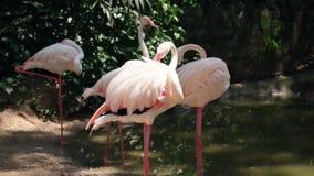 flamingovogels in een dierentuin Concept dieren in de dierentuin stock videobeelden