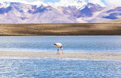 Flamingo in red lagoon, Bolivia. The Andean flamingo is one of the rarest flamingos in the world. It lives in the Andes mountains of South America. Andean stock photography