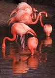 flamm flamingos Royaltyfri Fotografi