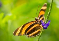 Flamma röda Tiger Butterfly på blomman royaltyfri fotografi