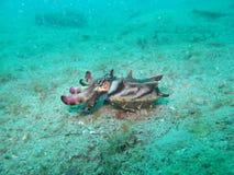 Flammabläckfisk Royaltyfri Foto